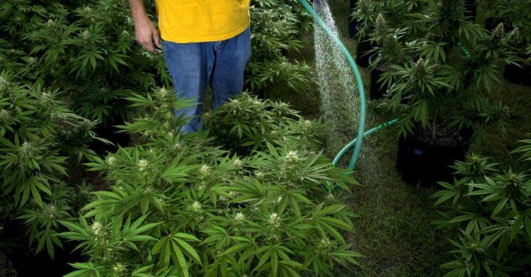 Sorpreso ad annaffiare 21 piante di marijuana: 37enne ai domiciliari