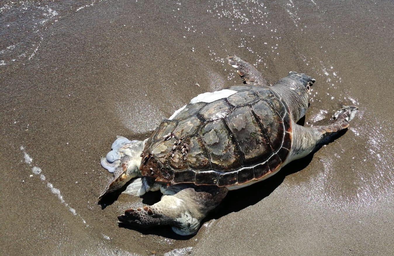 Montalto, grossa tartaruga  Caretta caretta morta  recuperata dal presidio acquatico dei Vigili del fuoco
