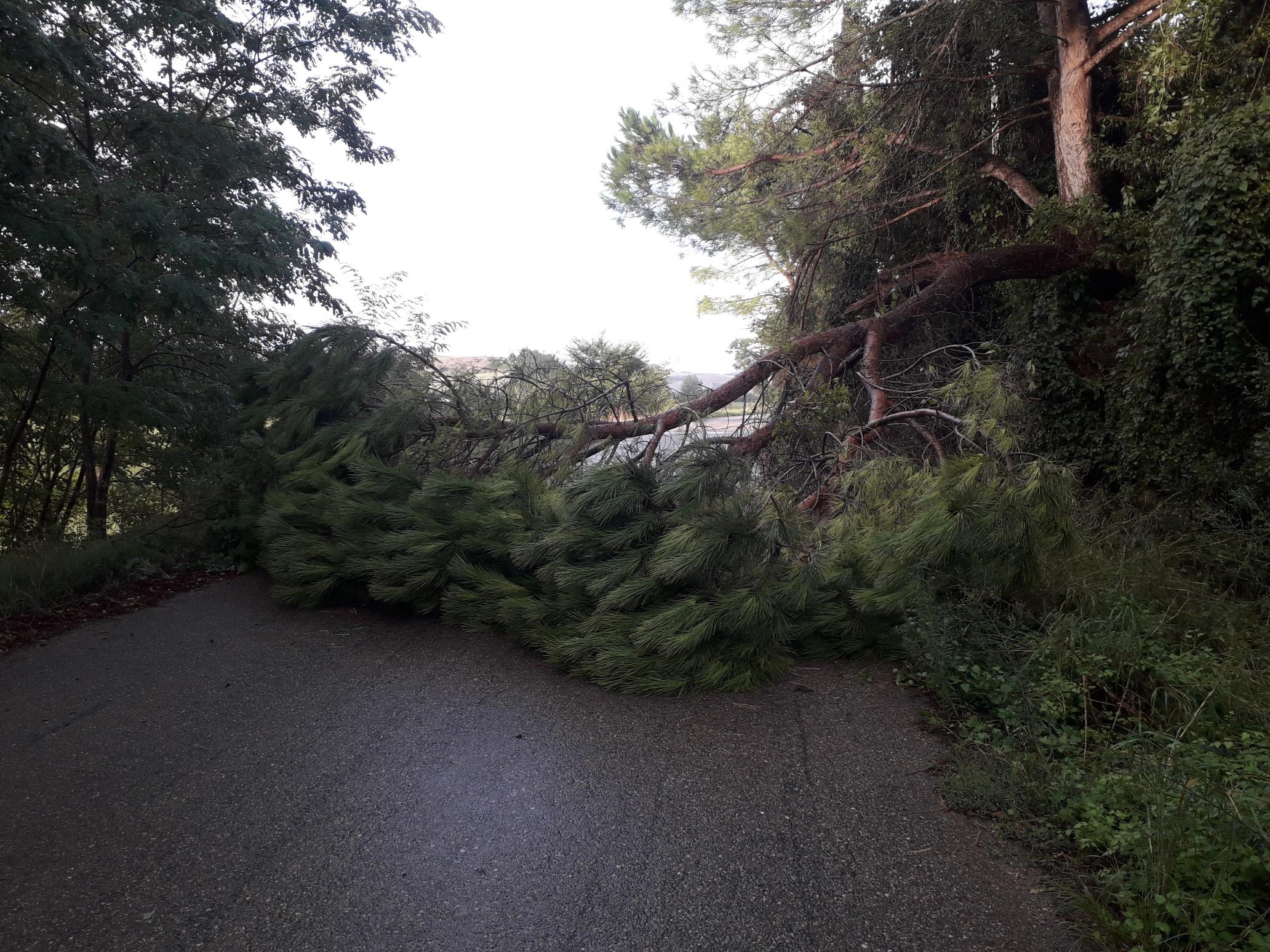 Maltempo, albero caduto sulla strada a Tarquinia: intervento dei volontari Aeopc e dei carabinieri forestali